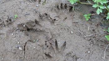 アライグマの足跡.JPG