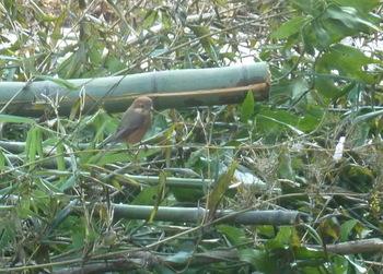 伐採した竹にモズが来た.JPG