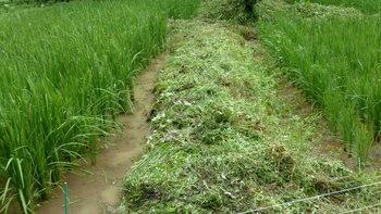 刈った畦の草.JPG