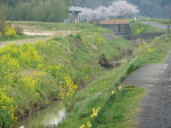 万葉の道菜の花ロード.JPG